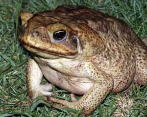 Barbados Cane Toad, Crappo