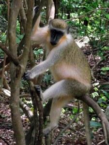 Barbados Primate Research Center