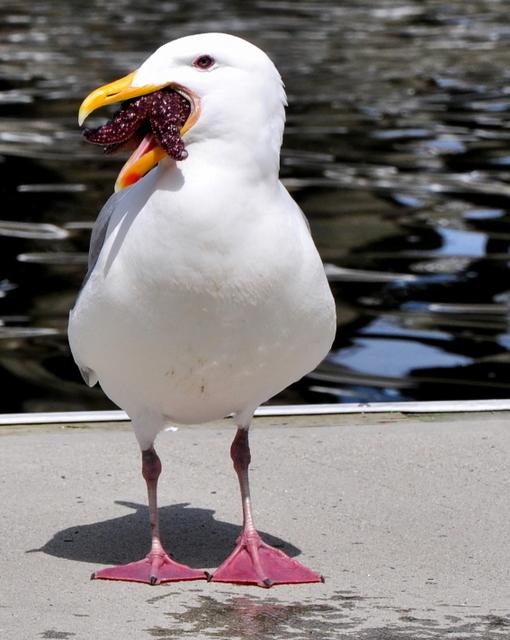 westjet seagull