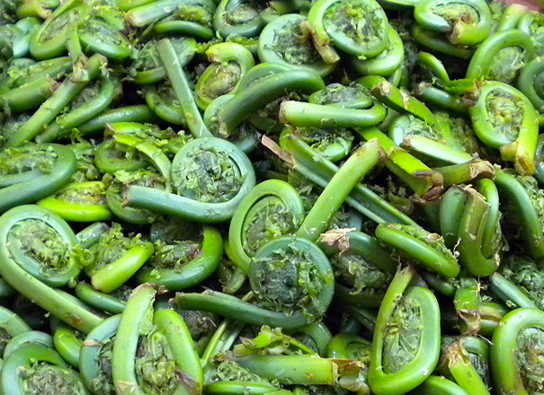 fiddlehead1